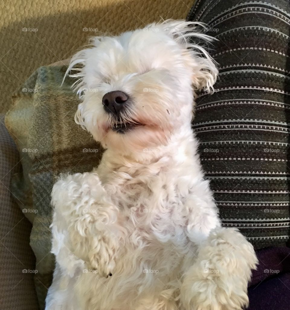 White Maltese dog sleeping on his back; face in the air like he just don't care