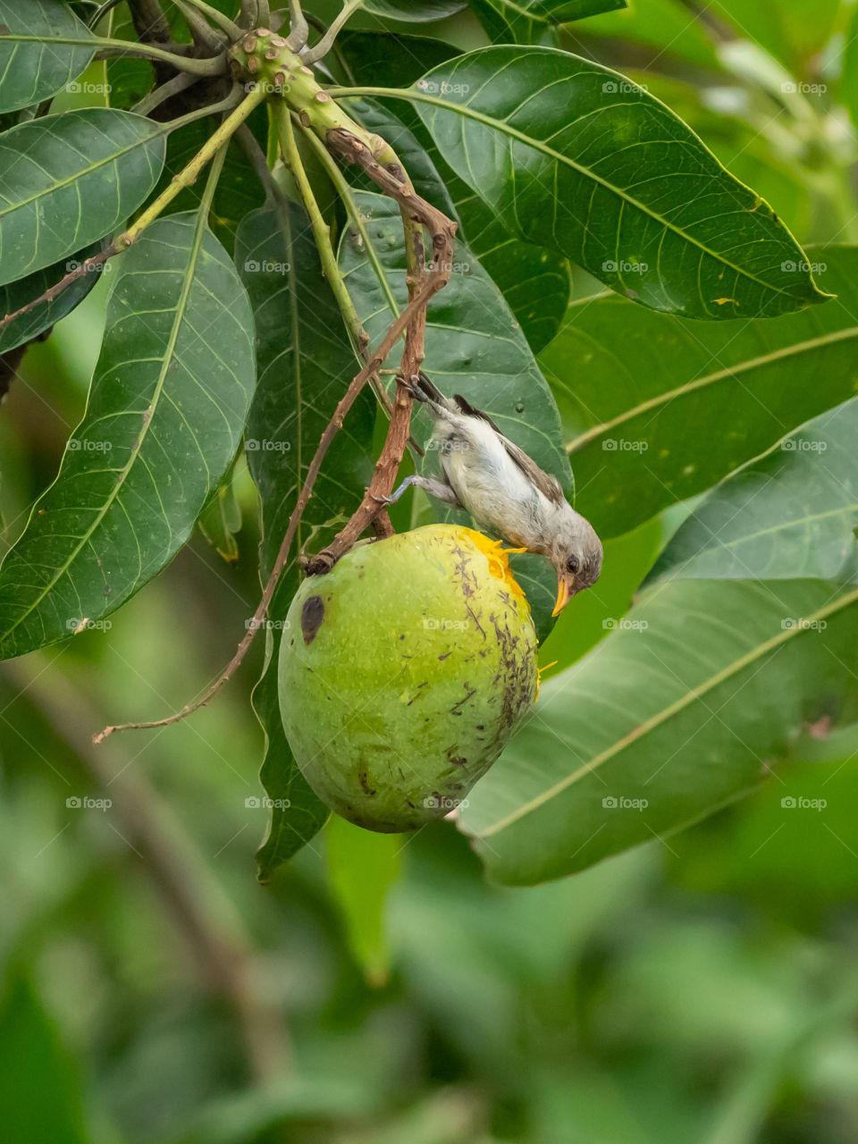 Little Bird is enjoying sweet mango