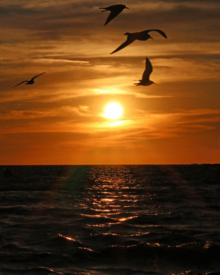 Gulls on sunset