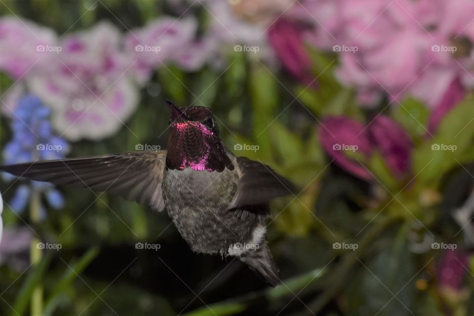 red headed hummingbird in flight with pink flowers April 7th 2018