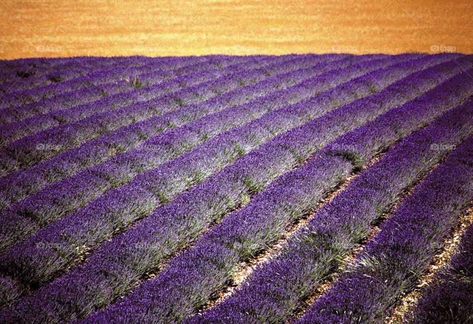 Lavender. Provence