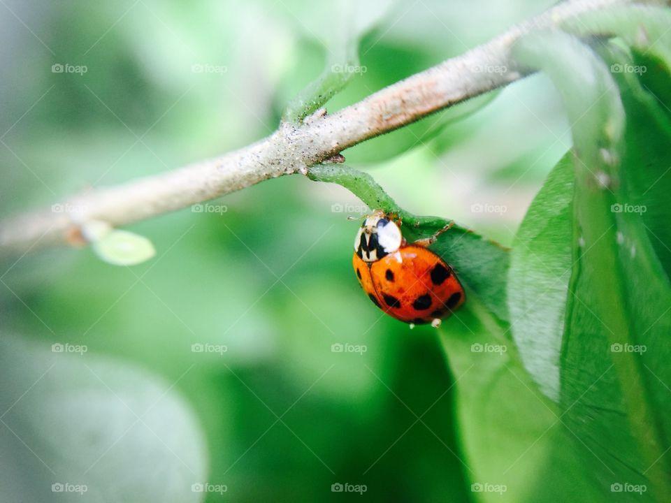 Ladybug hanging on leaf