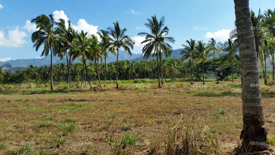 Palm Tree Farm. A palm tree farm in Mokuleia on Oahu, Hawaii's North Shore.
