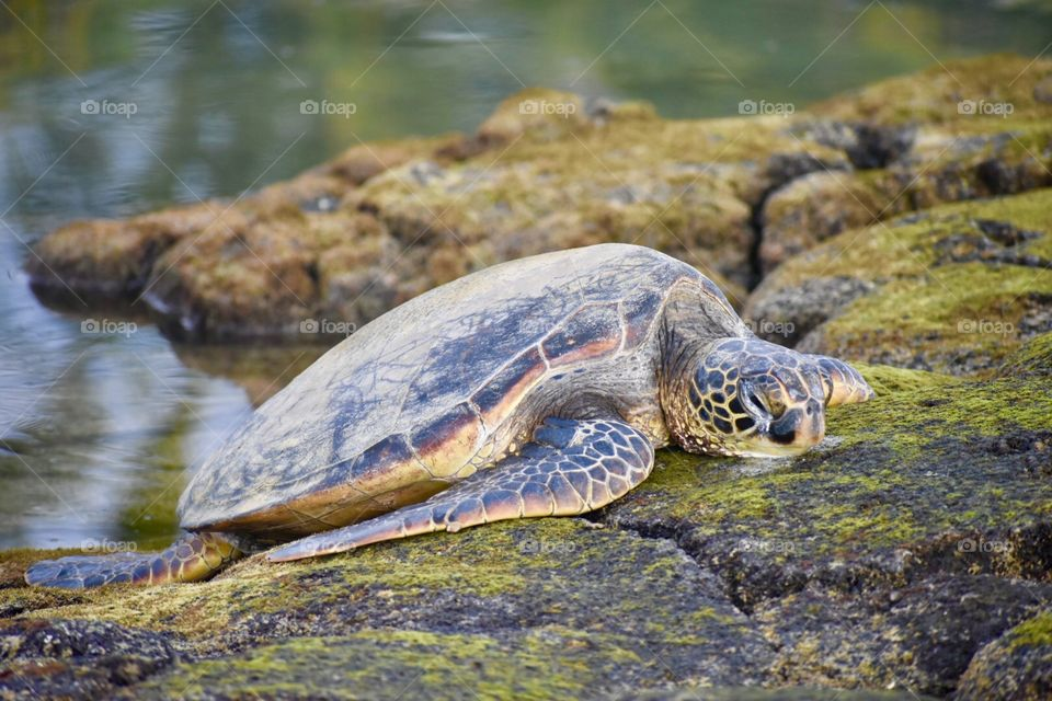 Sea turtle on the lava rocks