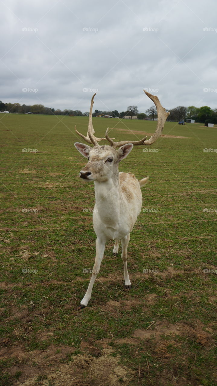 Deer at the grapeland drivethru safari in Texas we got really close to