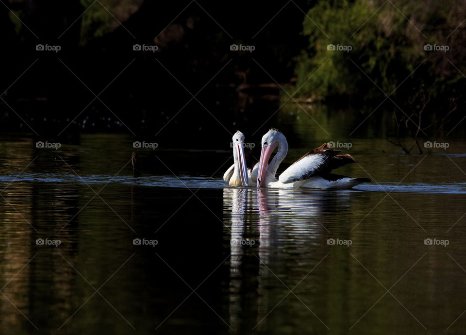 Pelican's on a date