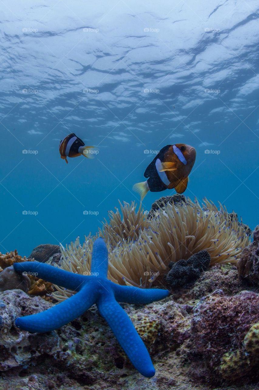 Clownfish and the blue starfish