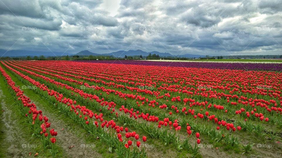 Skagit Tulip Fields. Skagit Valley, WA. April 2016