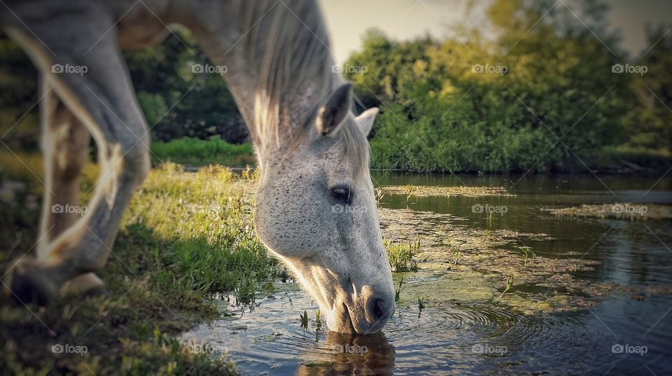 Gray Horse Drinking Out of a Pond