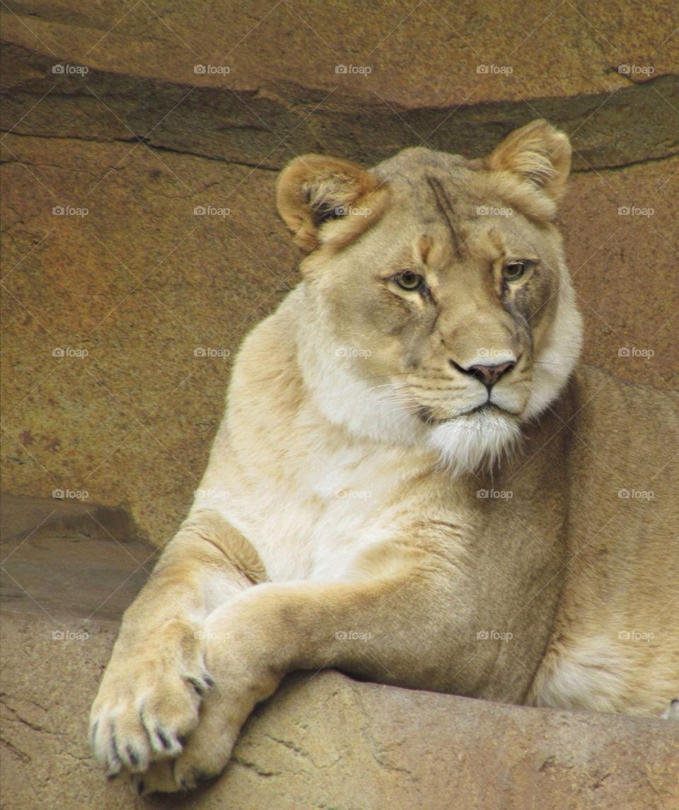 animal wild lion big cat by landon