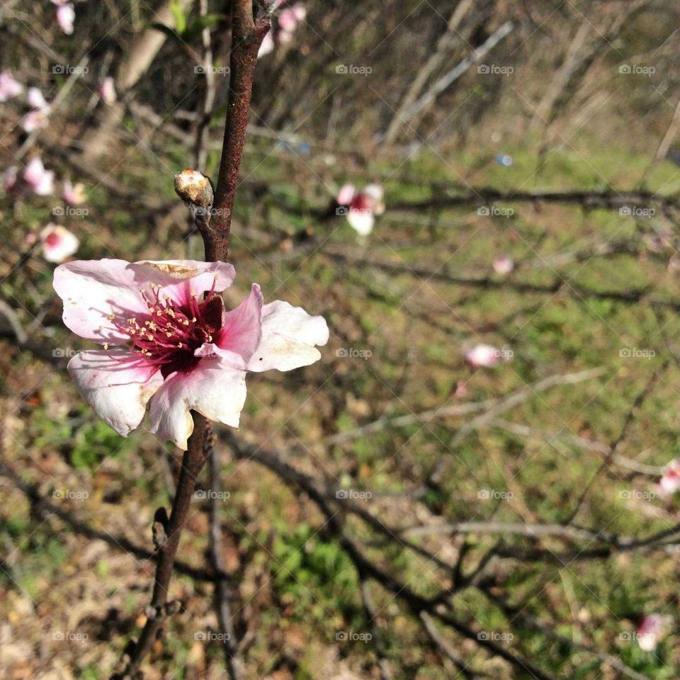Beautiful Peach Tree Blossom In The Lustrous Sunlight Being Captured Glittering From The Blossom