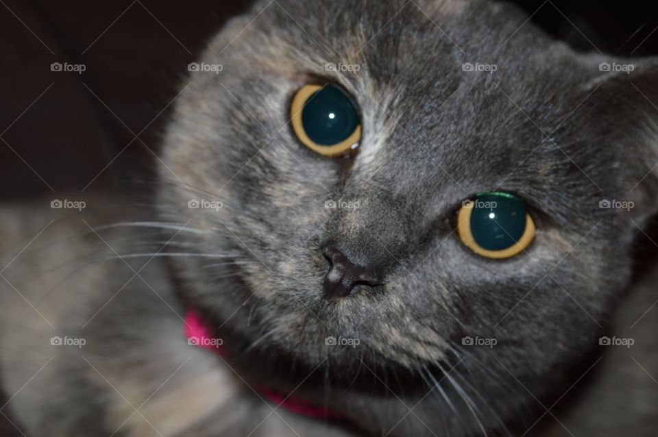 Dilute Torti. Dilute tortoiseshell cat. Her name is Silver Noodles!  Cat face photo.
