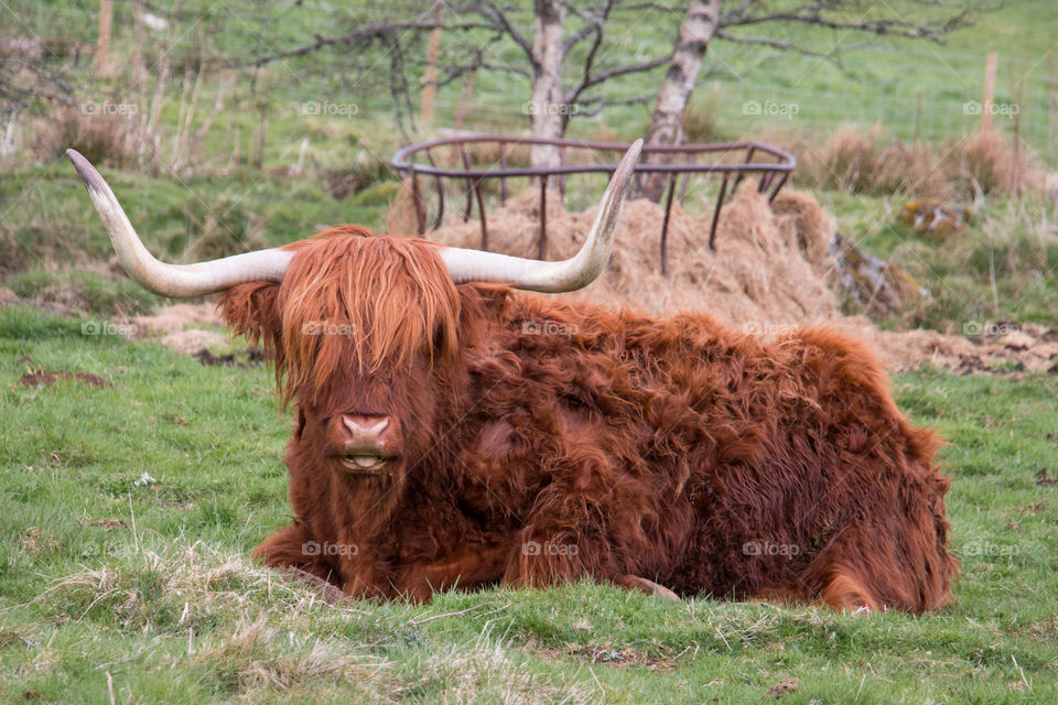 Highland cow sitting in field