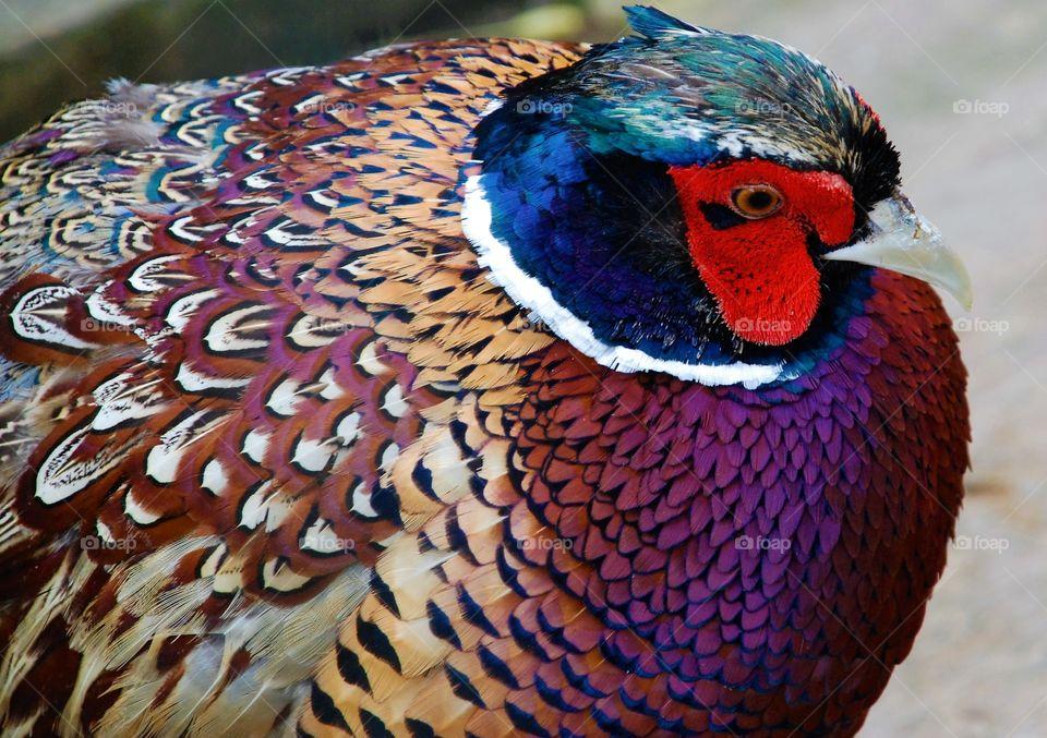 One of ringneck pheasants