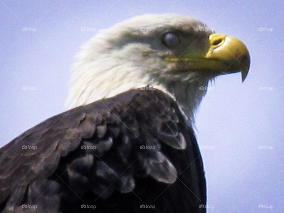 A bald eagle has two outer eyelids that close when he sleeps. To blink an eagle also has an inner eyelid that moves sideways towards the outer eye.  This translucent eyelid is used to blink & clean the eye & is called a nictitating membrane. 🦅