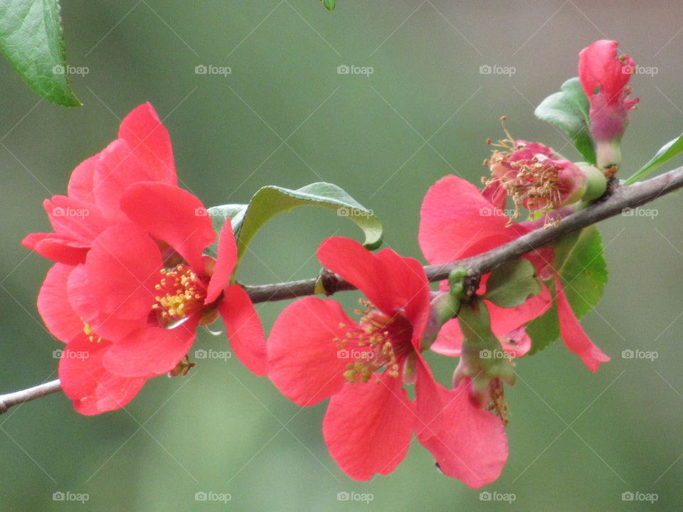 Quince bush blossoming