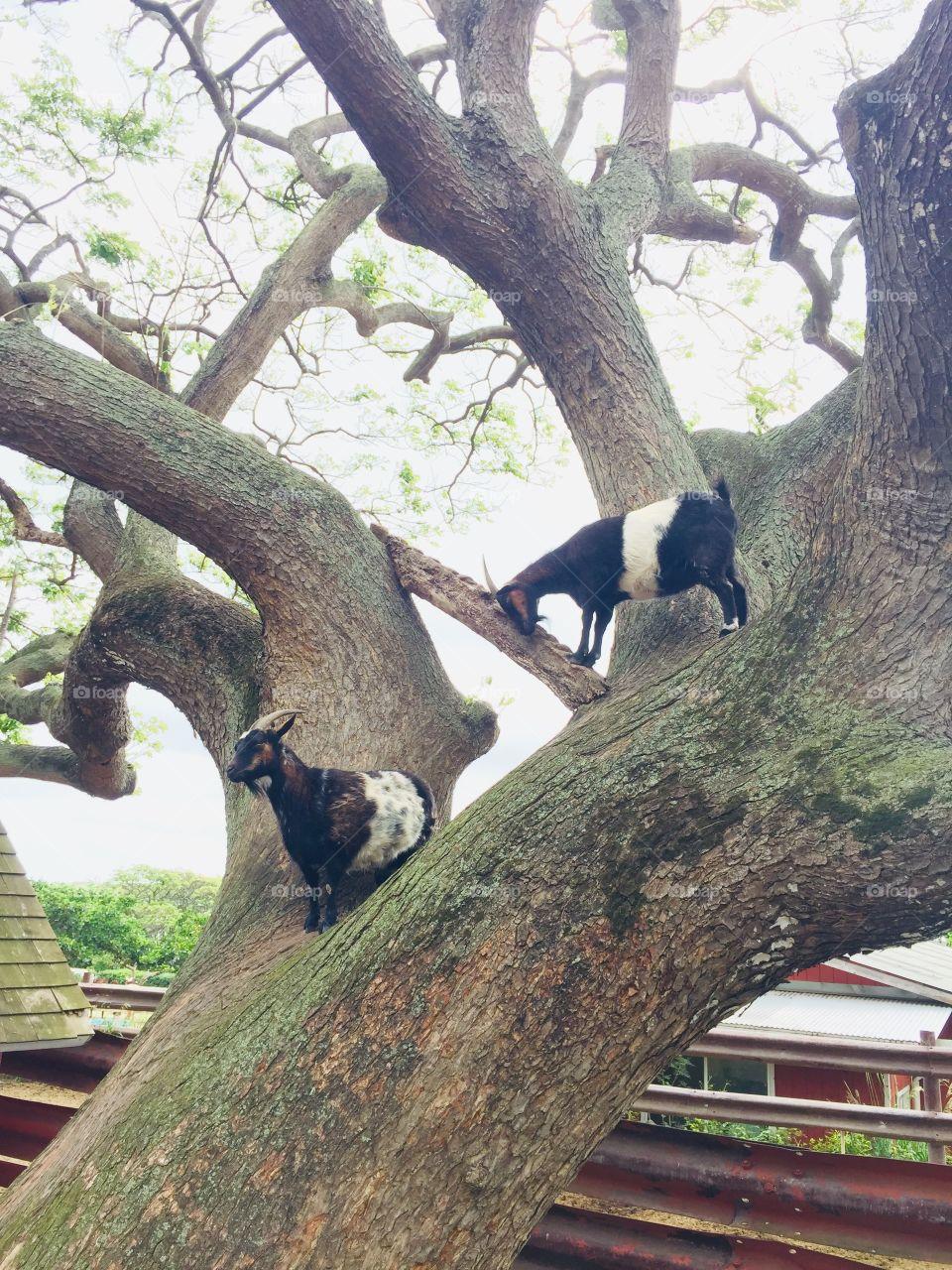 Goats on a tree
