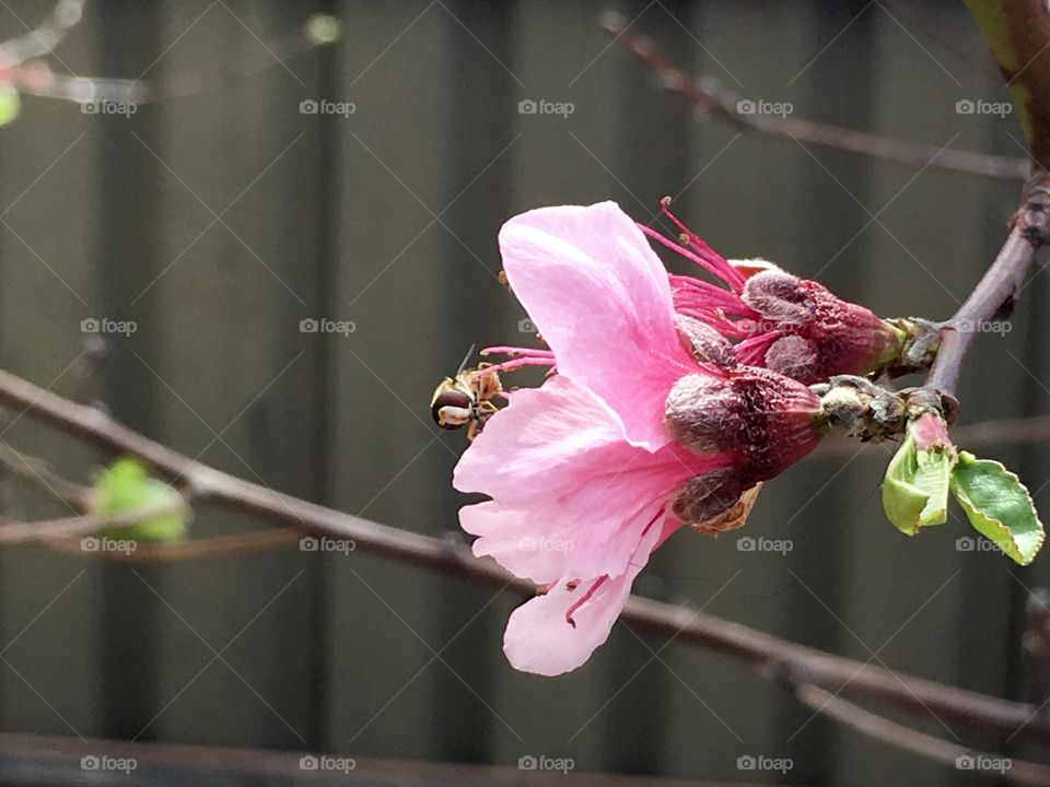 A banded bee on apricot blossom stamen, gathering pollen from stamens