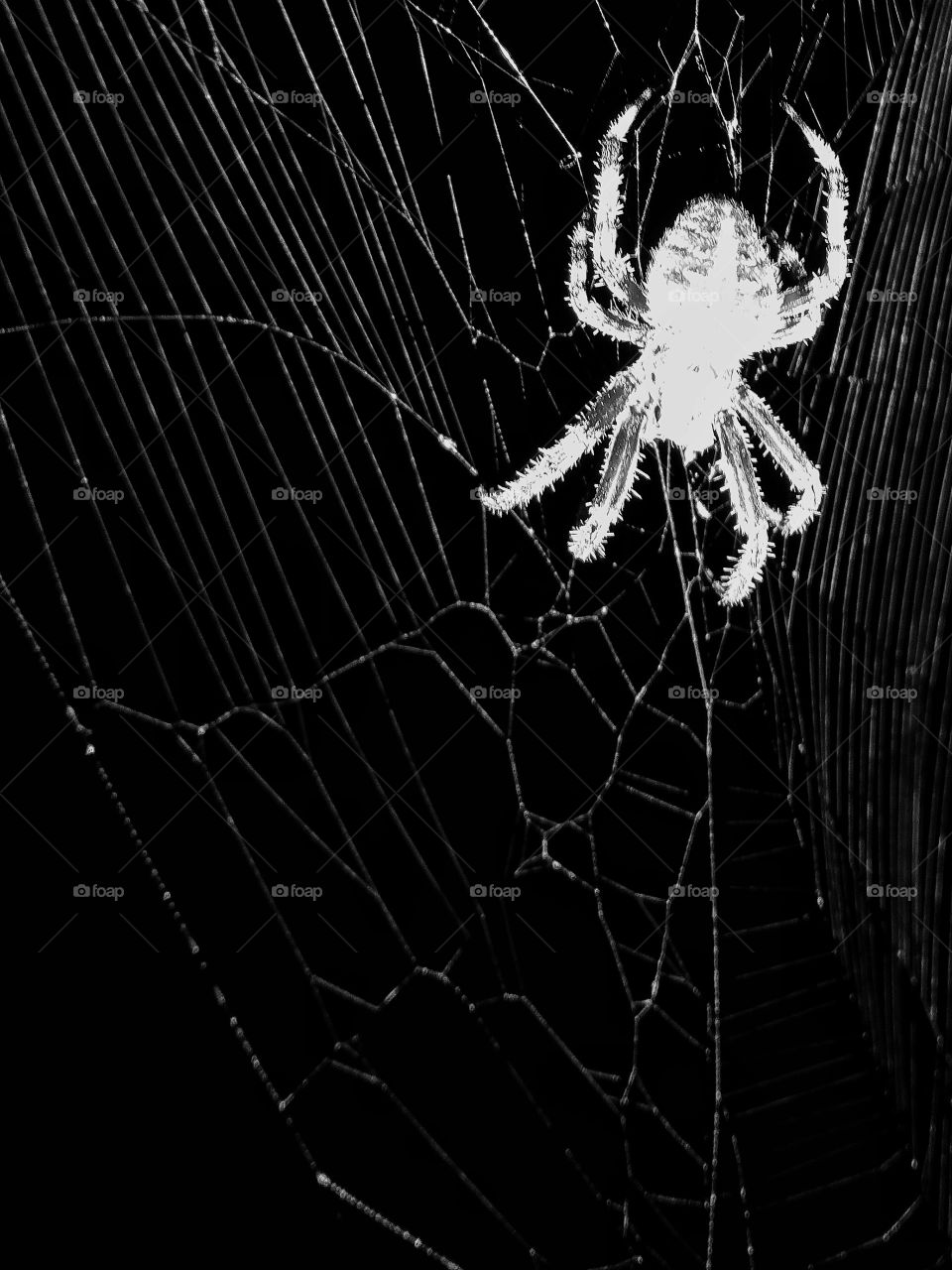 Night Spider. Almost ran into this big guy late last night. I didn't want to tear it down, so I just went through the back door.