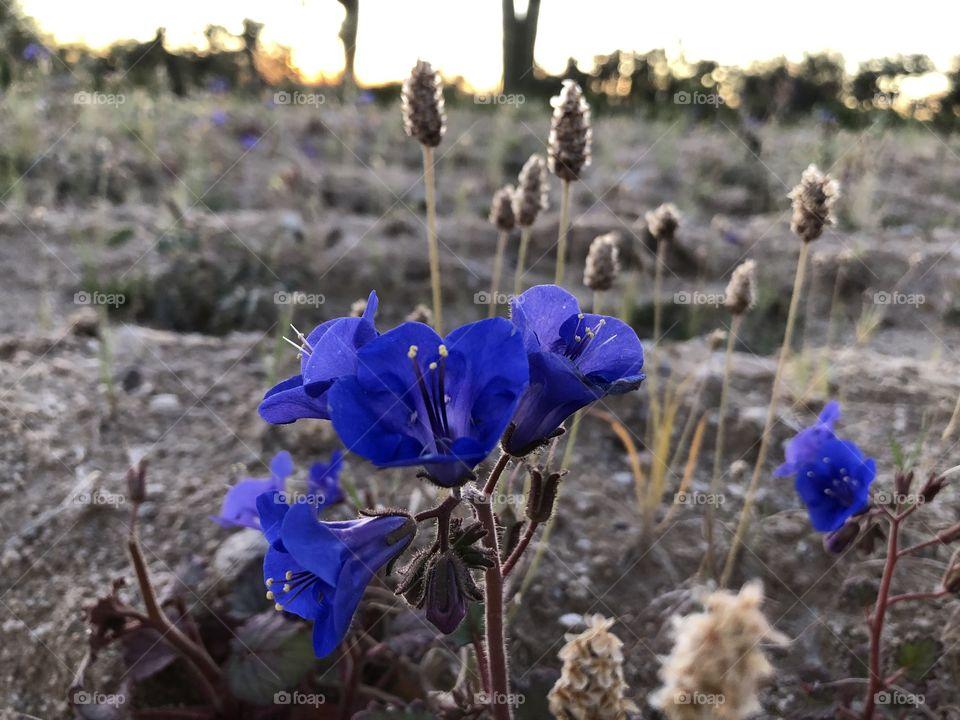 Purple wildflowers growing in the desert