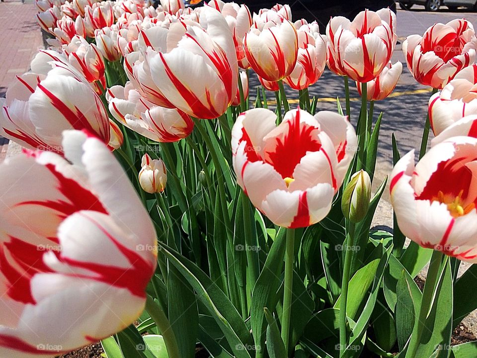 Canadian Flag Tulip with red maple leaf symbol