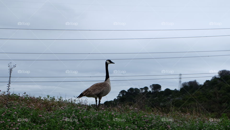 Duck standing with electric wires running in background