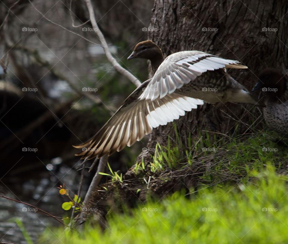Australian wood duck landing
