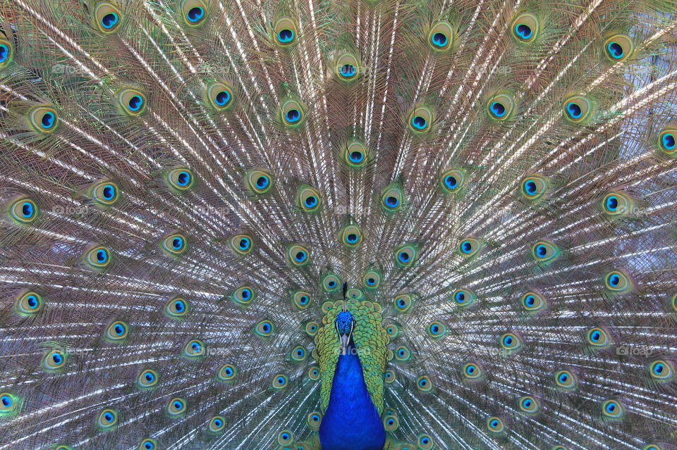 Straight on closeup shot of a brilliant blue male peacock with his tail in full display!