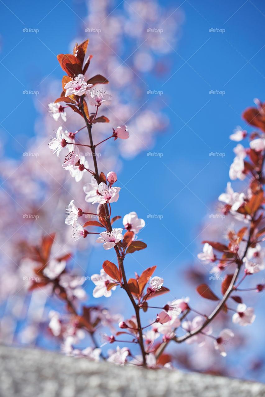 Brotes de Cerezo sobre el limpio cielo de marzo ventoso.