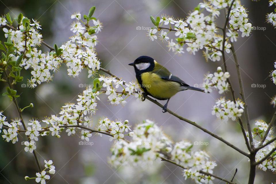 Tit among blossoming cherry