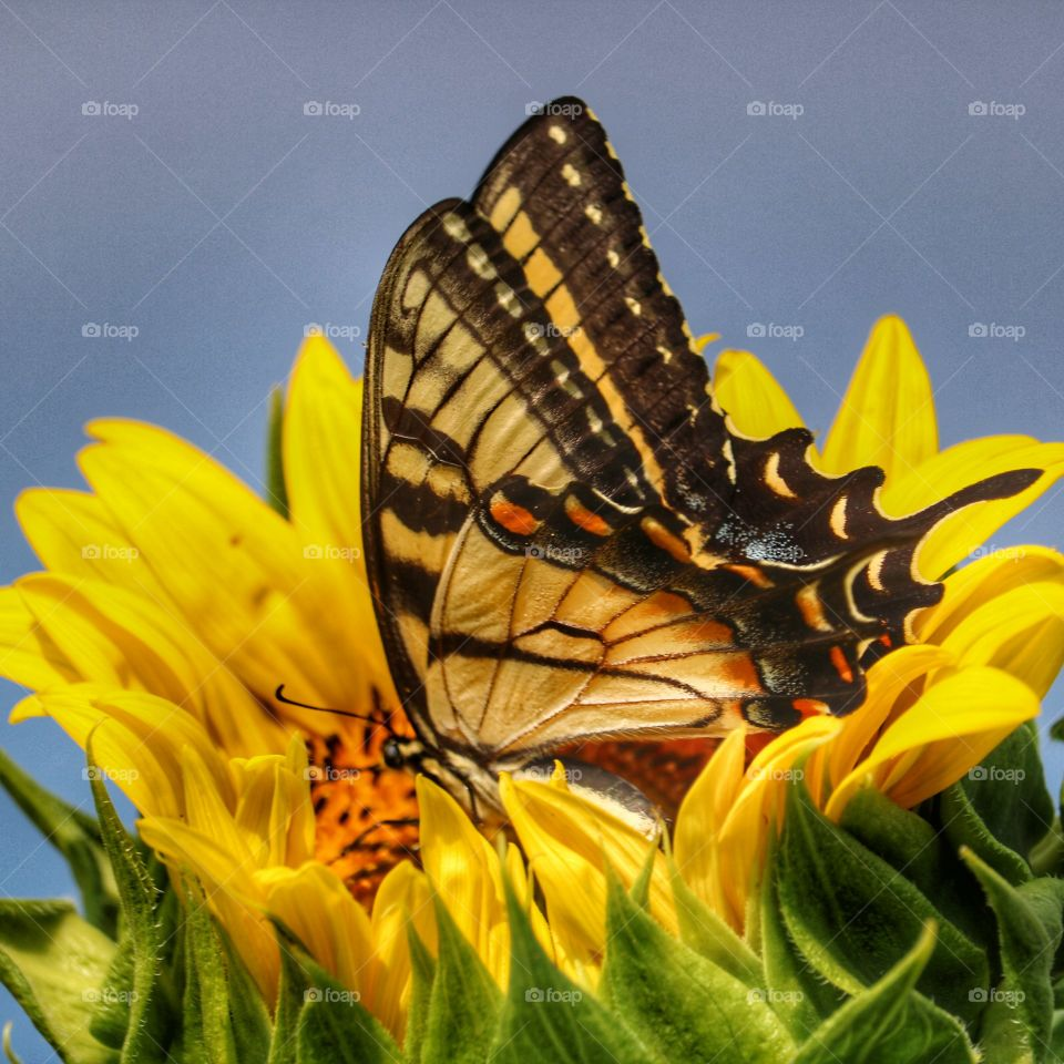 sunflower and butterfly