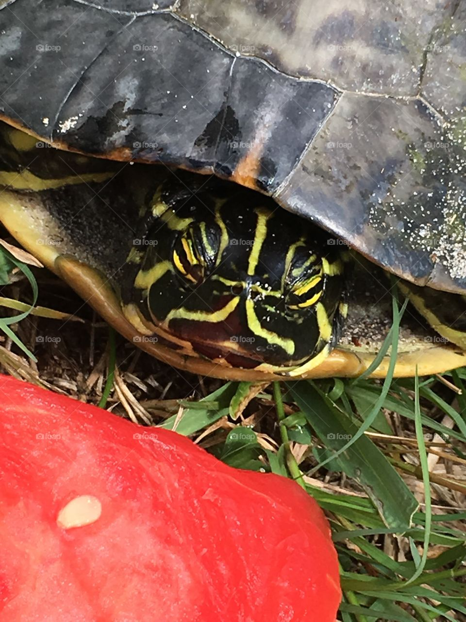 Turtle eating watermelon 🍉 in Florida 🐢