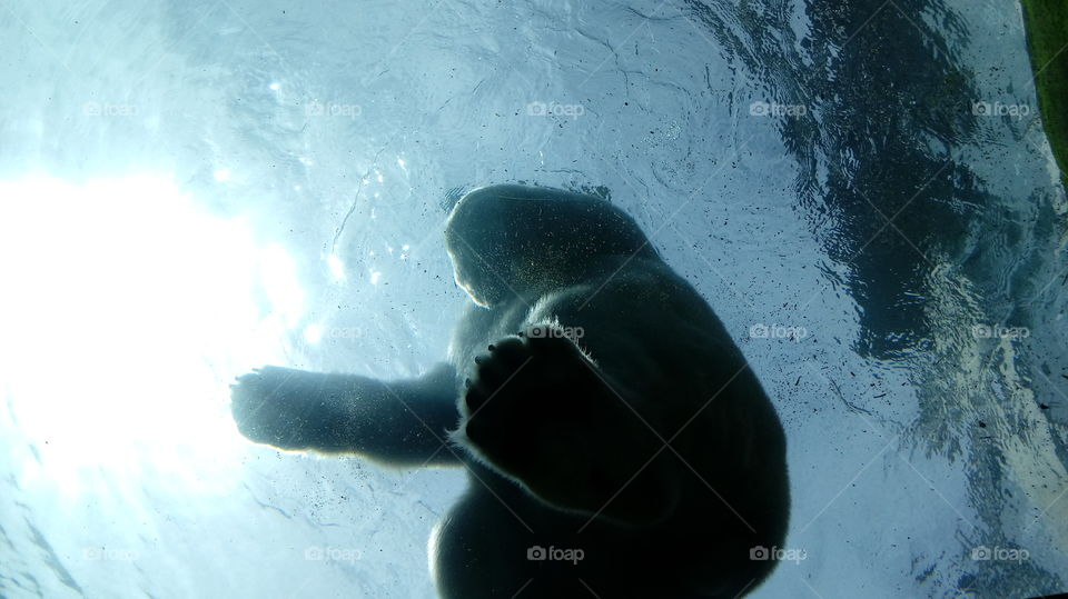Polar Bear standing on underwater viewing area