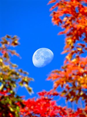 daytime moon in autumn. Gorgeous New England foliage breaks way to reveal a daytime three quarter moon in autumn.