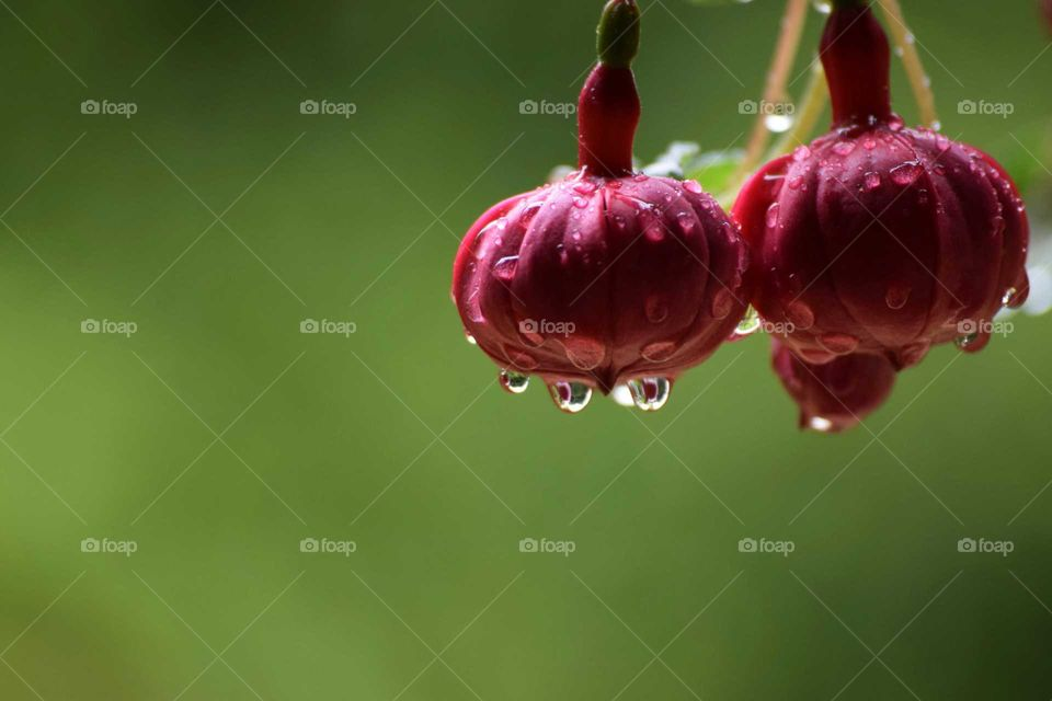 red fuchsias bud with raindrops look at the reflection in them April 2018