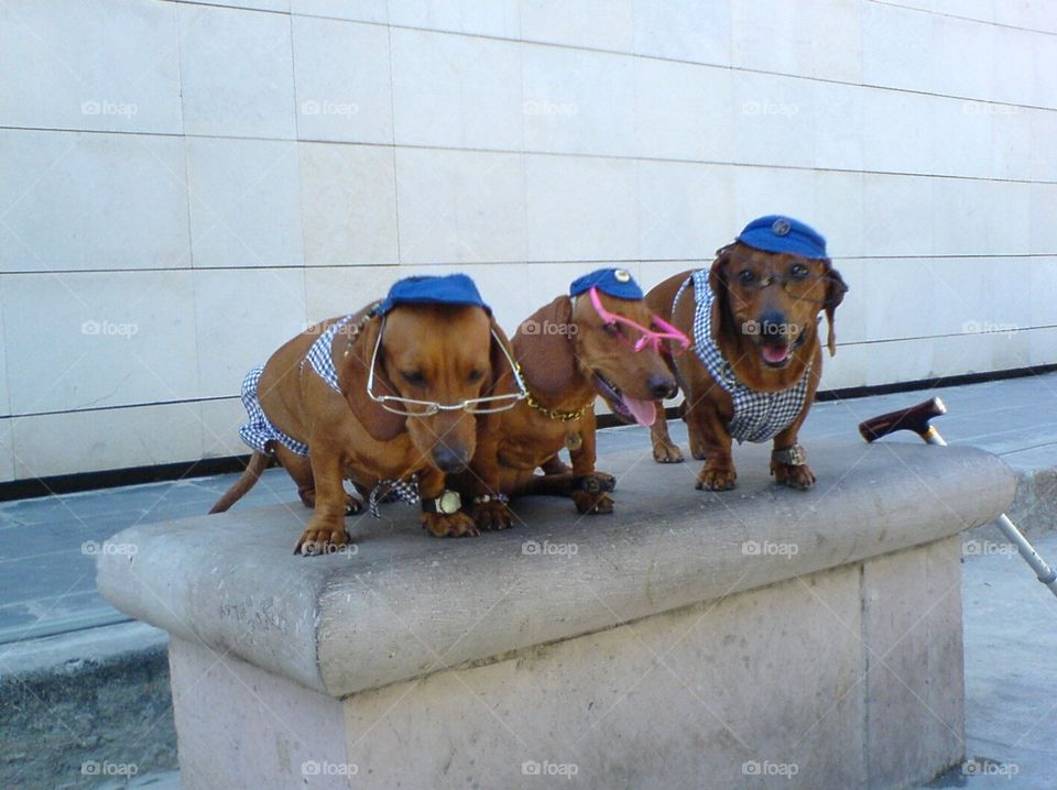 The three coolest sausage dog of the world to meet at Havana, Cuba