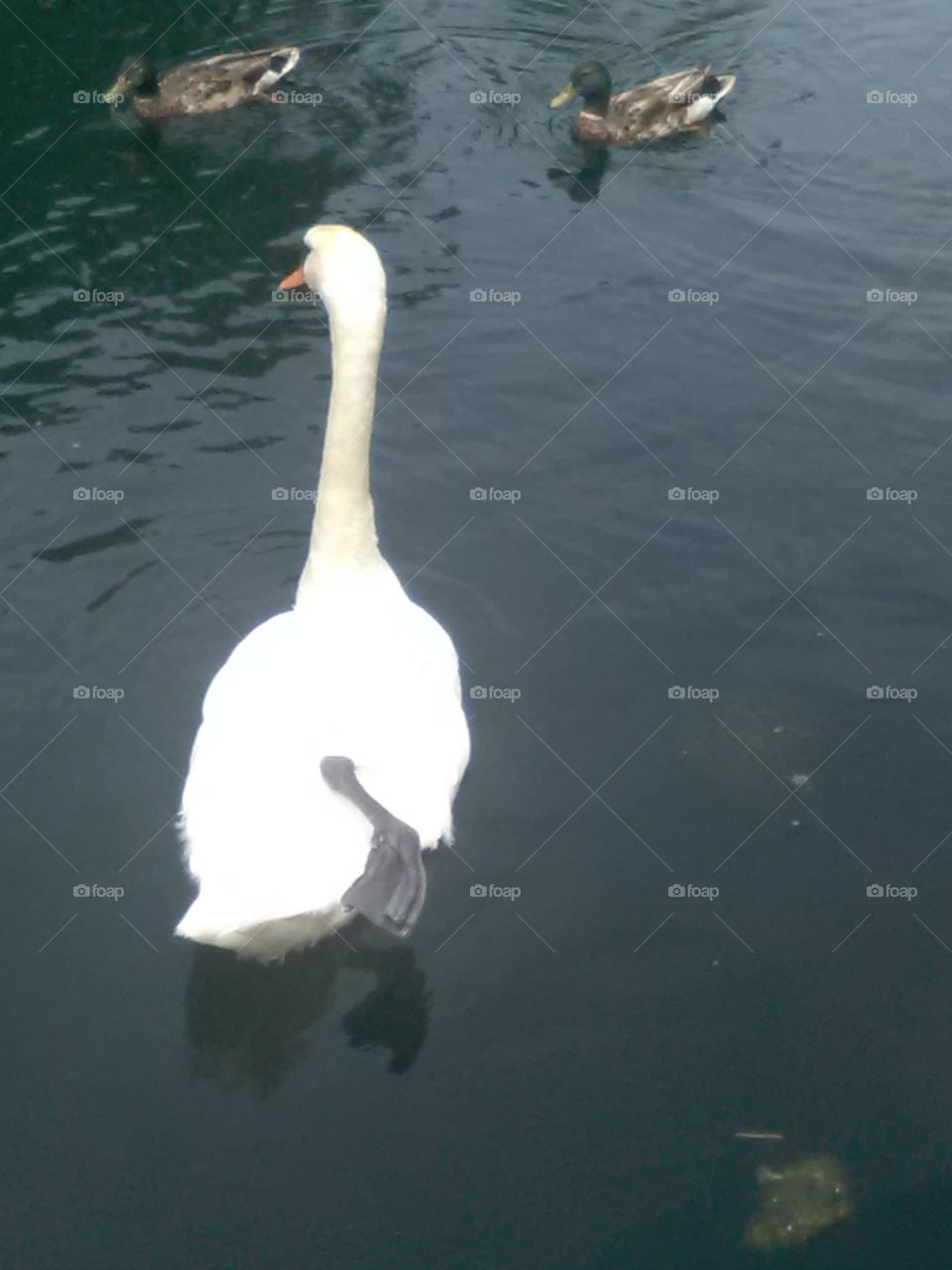 No Person, Bird, Water, Swan, Lake
