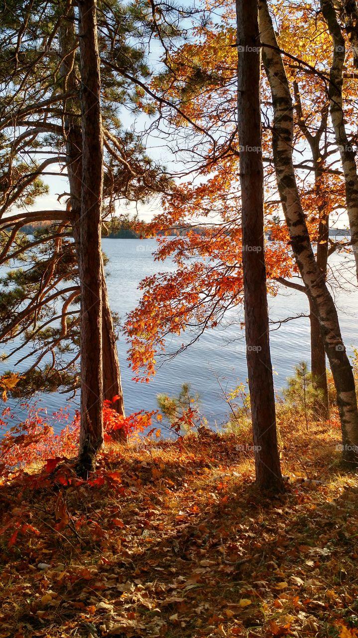 Autumn Trees. Lac Du Flambeau, WI