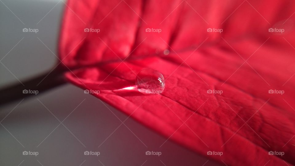 Water drop on red leaf