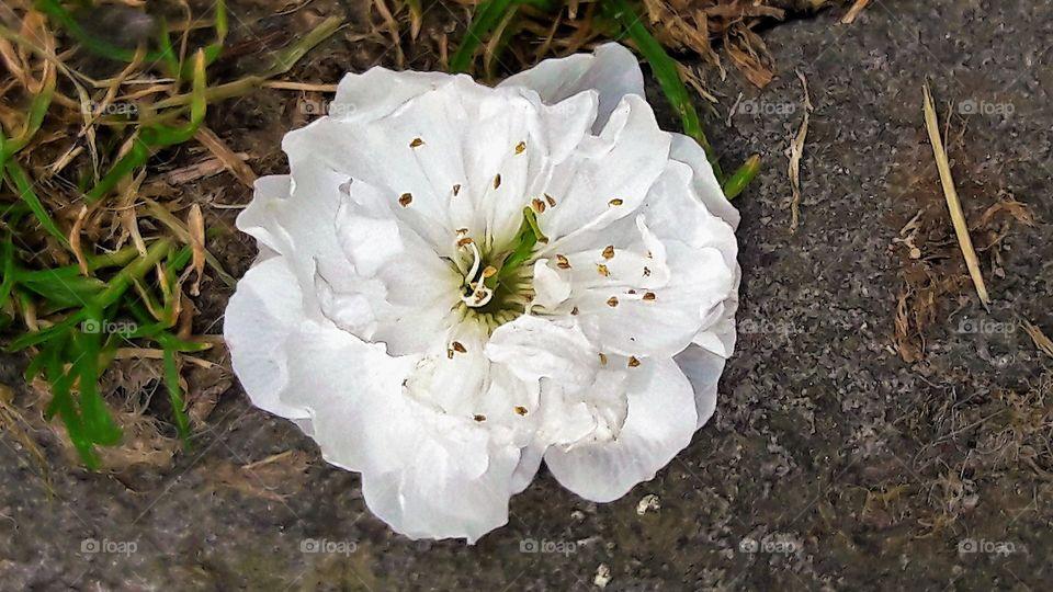 A White Pansy