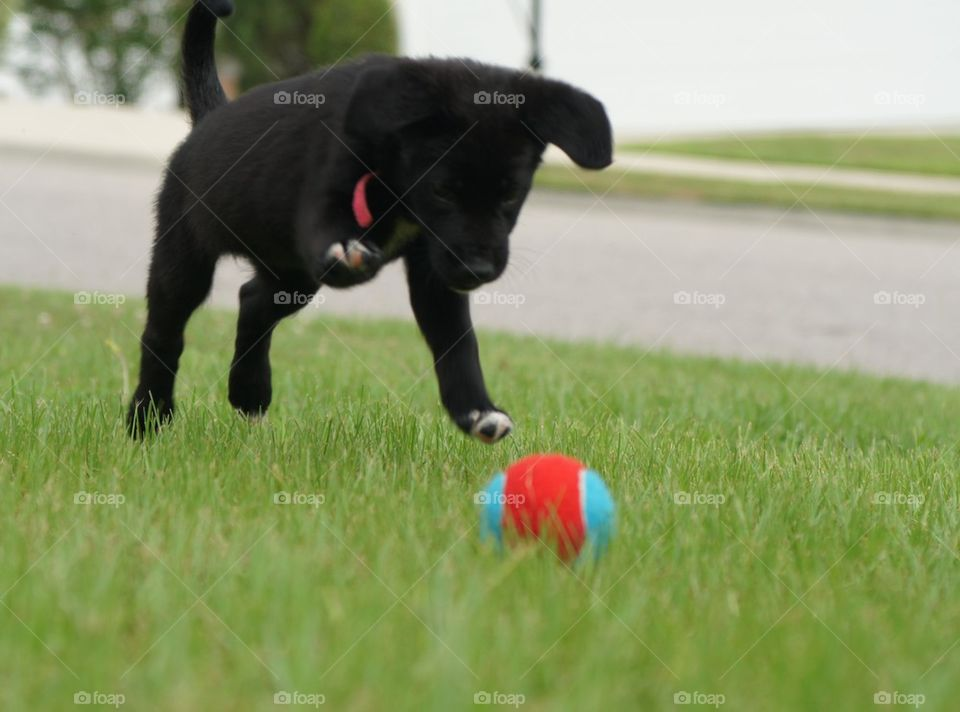 Puppy pouncing on her ball