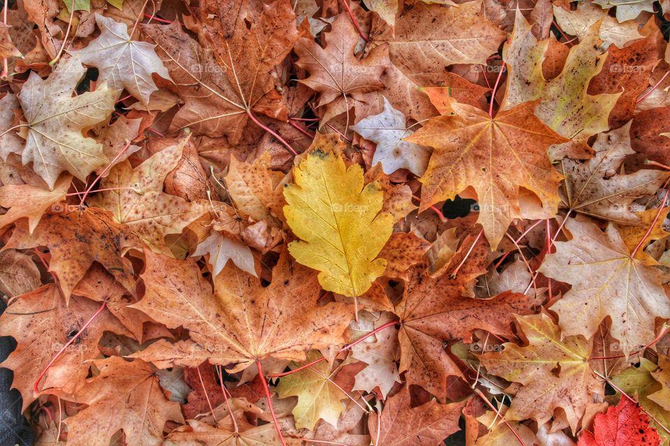 Full frame of dry maple leaves in autumn
