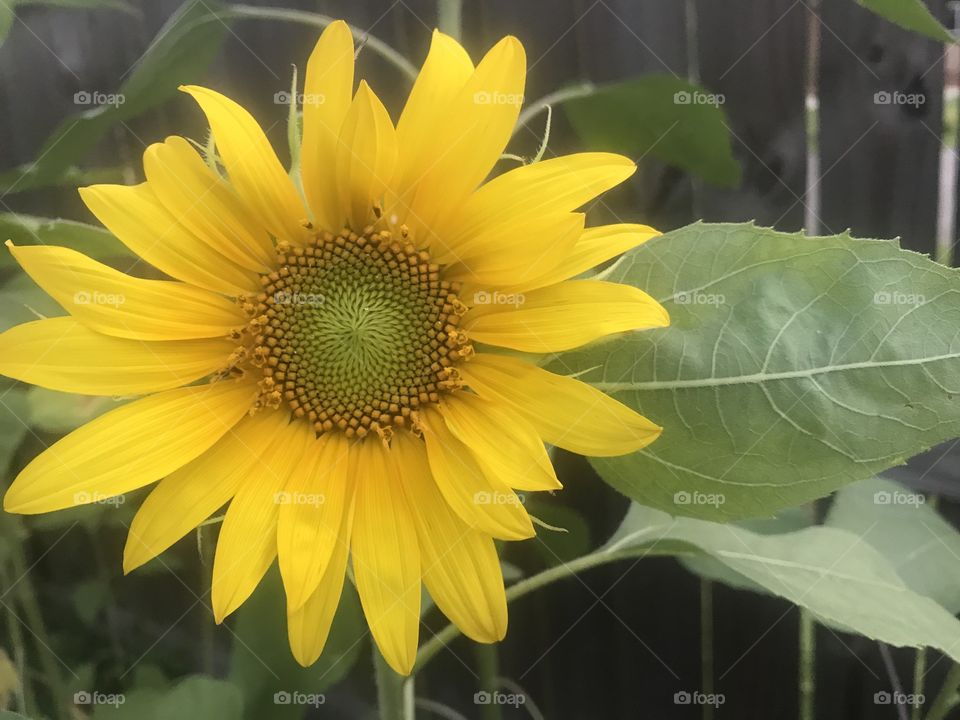 Sunflower that grows in my back yard