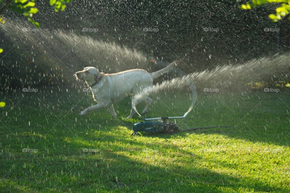 Lab Playing in the Sprinkler