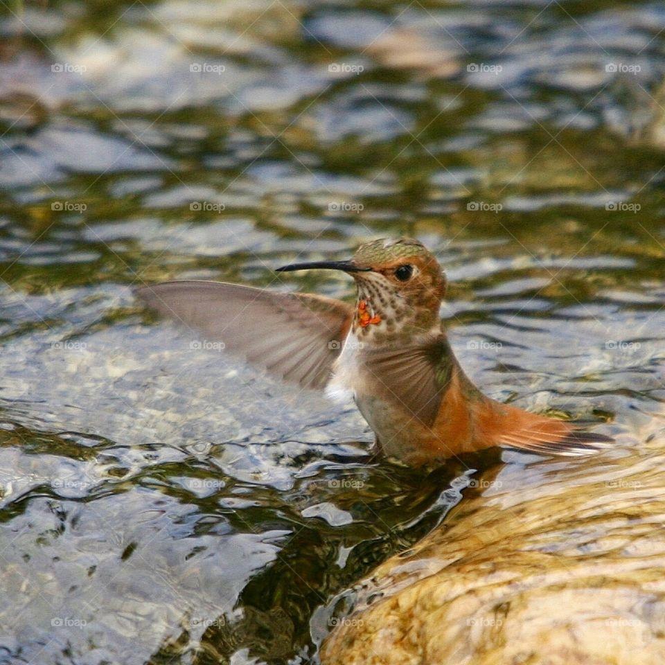 Hummingbird bathing in water