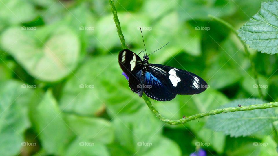 Blue black wing butterfly
