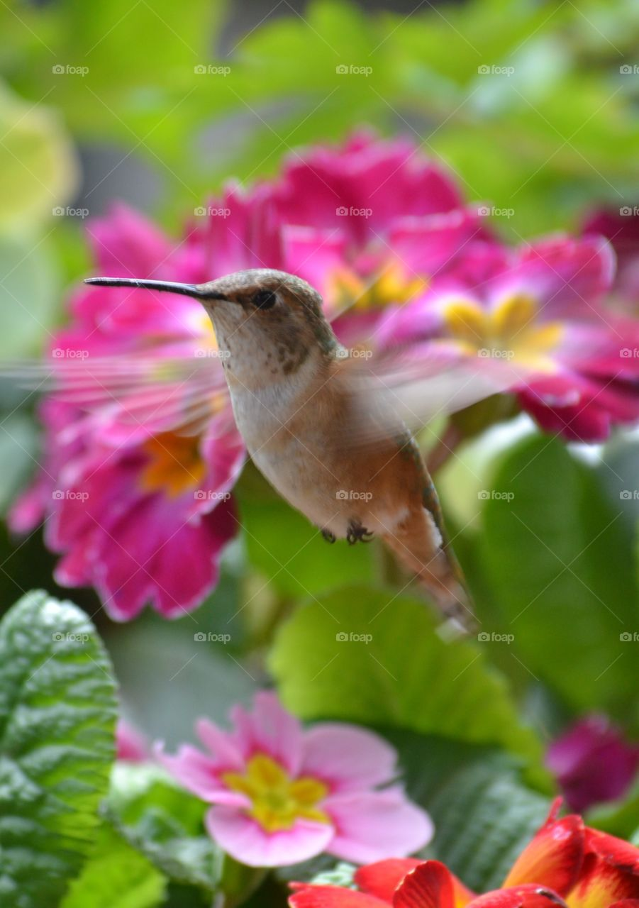Rufous Hummingbird inflight wings in motion tiny feet primroses . Rufous Hummingbird inflight wings in motion tiny feet primroses , taken 4/23/15