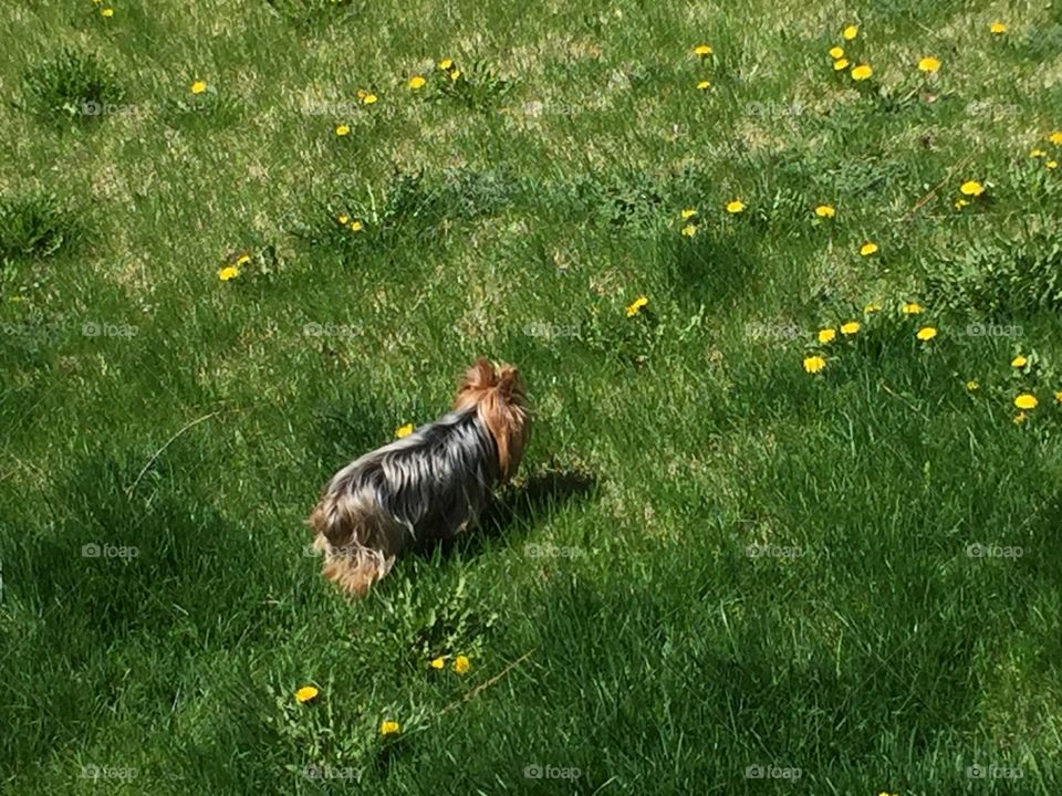 Mini Yorkie in The Spring