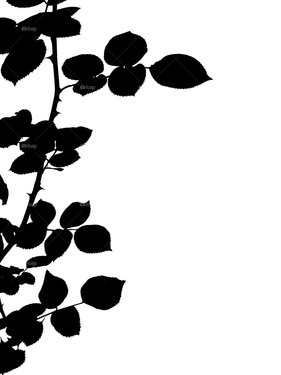 Silhouette rose twig isolated on white background with copy space.
