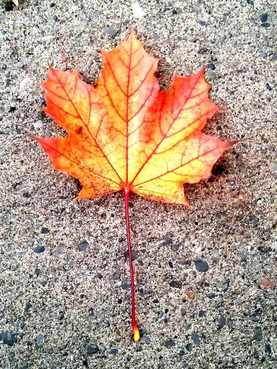 Not Dead Yet. This beautiful leaf, was just lying on the ground as I was on another morning walk, here in Toronto.